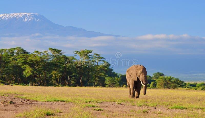 Kilimanjaro und Elephant, Blick vom Amboseli Nationalpark, kenya lizenzfreies stockbild