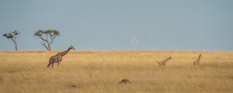 Kilka żyraf łydki baraszkuje w sawannie z dorosłym dopatrywaniem nad one fotografia royalty free