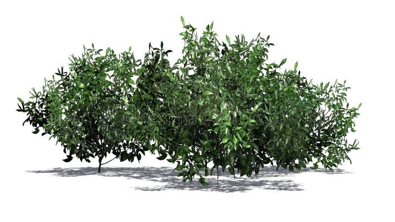 Kilka azalia krzaki - zieleń ilustracja wektor