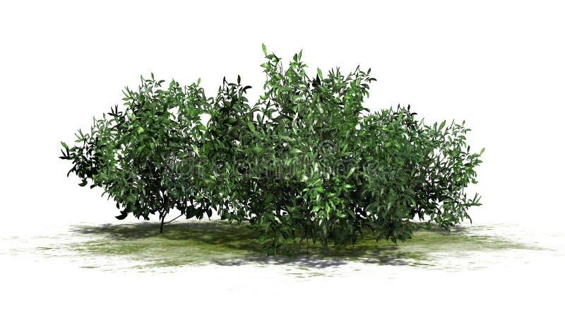 Kilka azalia krzaki - zieleń royalty ilustracja