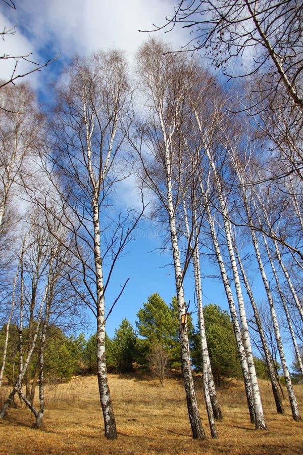 Kilka białe wysokie brzozy przeciw niebieskiemu niebu obraz royalty free