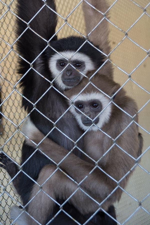 Kilka biali wręczający gibony Hylobates lar w zoo klatce, strzał przez klatki obrazy royalty free
