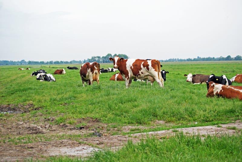 kilka brown i czarne białe krowy stoją w paśniku obraz stock