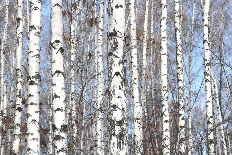 Kilka brzozy w brzoza gaju wśród innych brzoz zdjęcie stock
