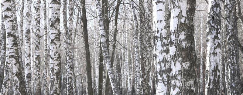 Kilka brzozy w brzoza gaju wśród innych brzoz zdjęcie royalty free