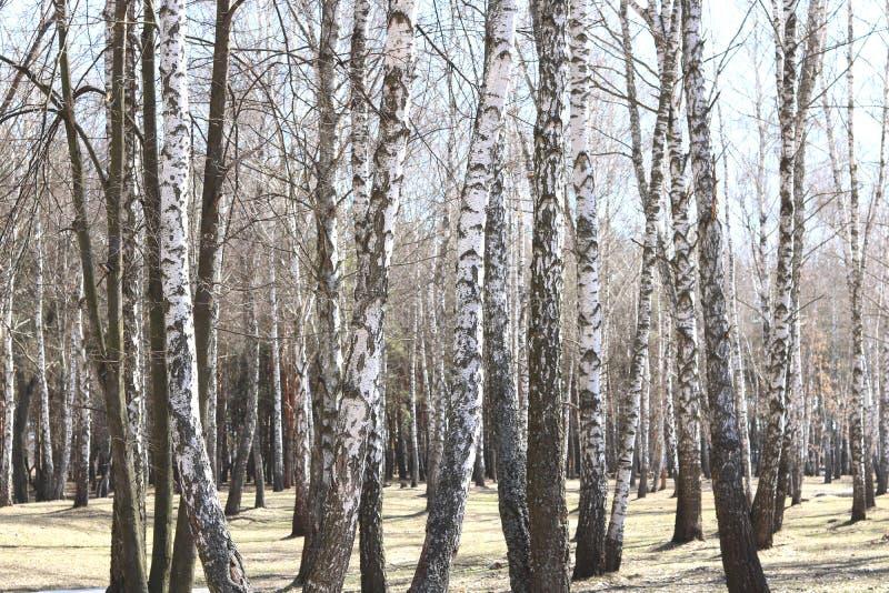 Kilka brzozy w brzoza gaju wśród innych brzoz obrazy stock