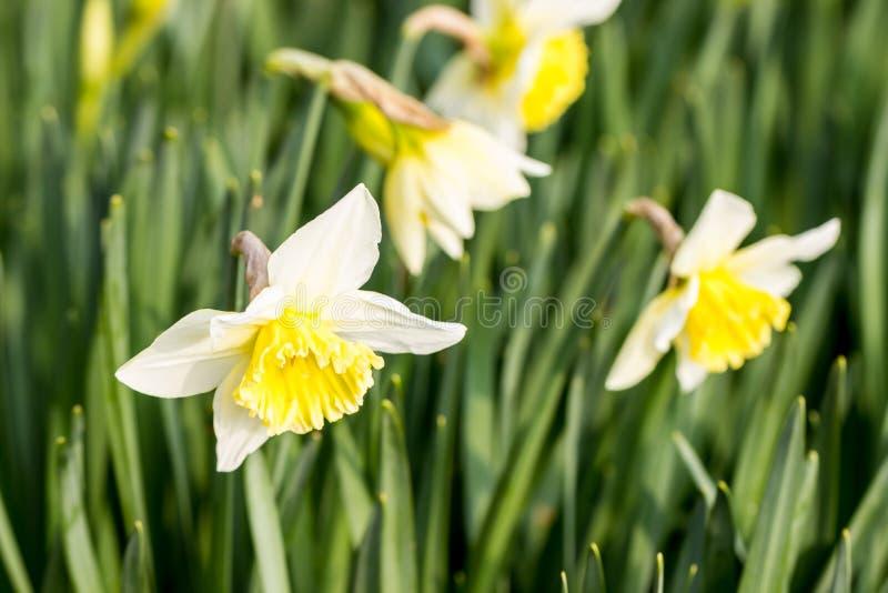 Kilka daffodils obraz stock