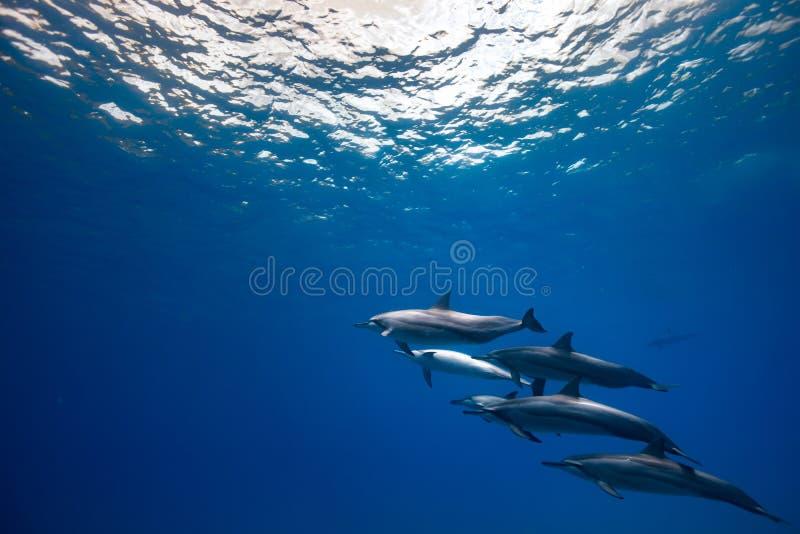 Kilka dzicy dolhins na błękitnym podwodnym tle zdjęcie stock