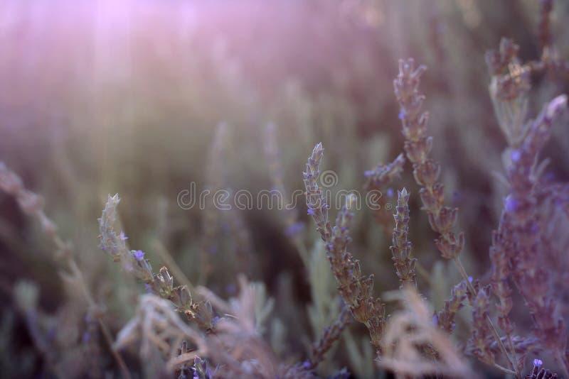 Kilka kolory lawenda przeciw tłu gęsty krzak, zaświecającemu słońcem obraz stock
