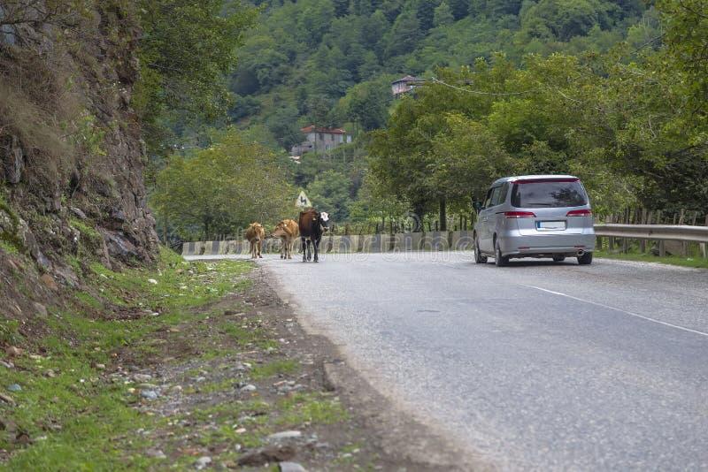Kilka krowy są na drodze fotografia royalty free