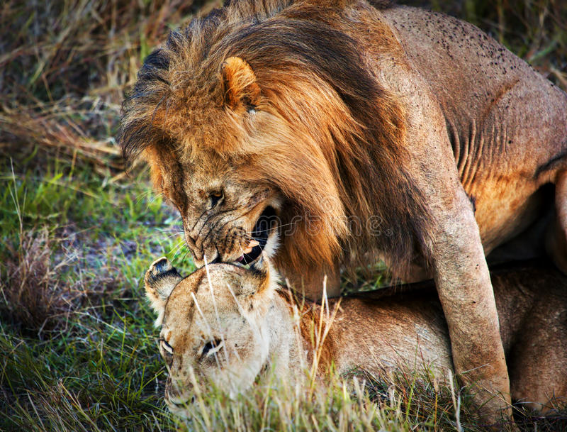 Download Kilka Lwów Kopulacja Na Sawannowym Serengeti, Tanzania, Afryka Zdjęcie Stock - Obraz złożonej z miłość, stosunek: 28951244
