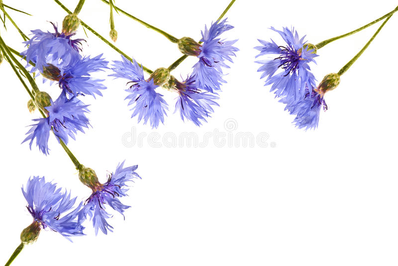 Kilka pięknych błękitnych cornflowers zamknięci up obraz royalty free