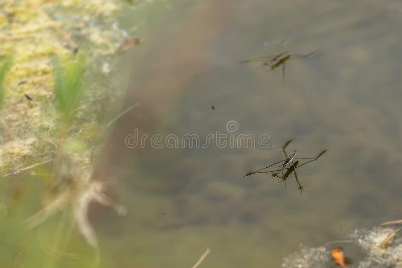 Kilka pospolita stawowa łyżwiarka na wodnych nawierzchniowych Gerris lacustris Ja trzyma siłą wodny napięcie Gerridae zdjęcie stock