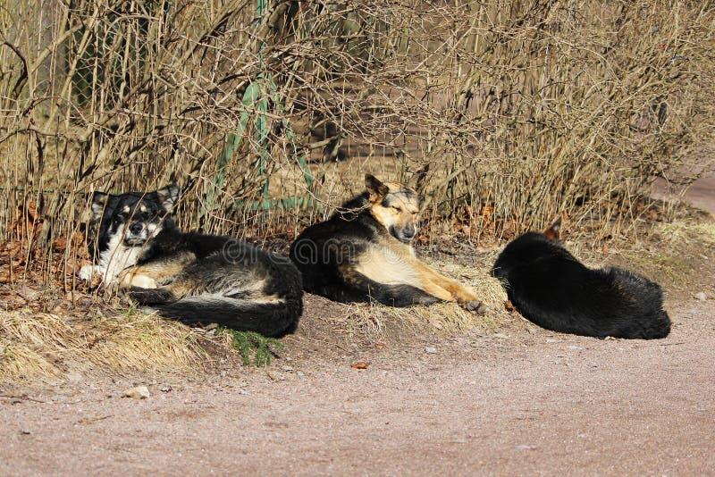 Kilka przybłąkani psy śpią w parku i sunbathe w wiosny słońcu zdjęcia stock