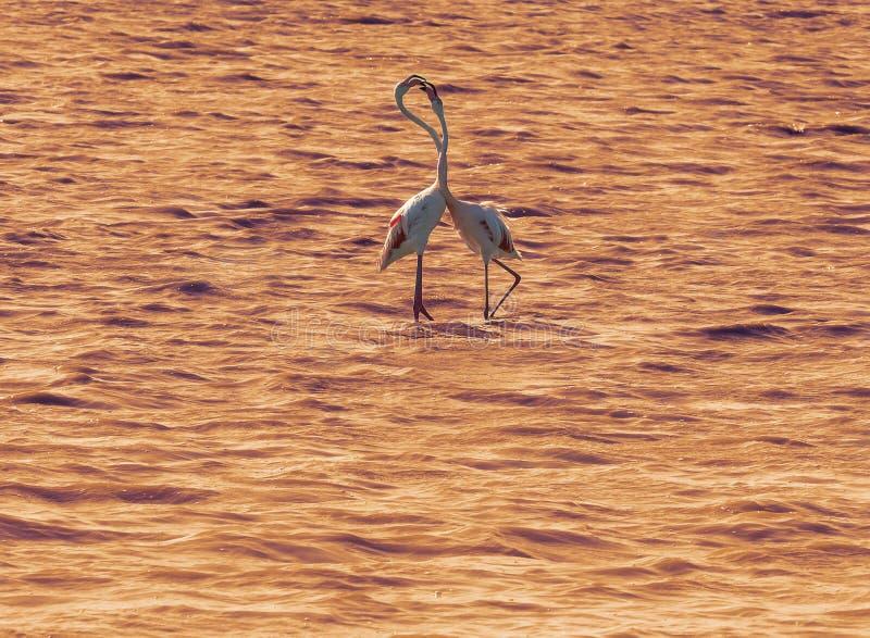 Kilka różowi flamingi w zmierzchu połysku fotografia stock