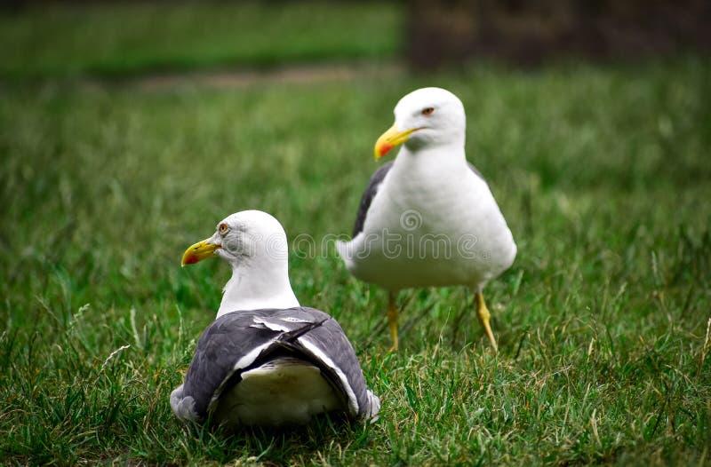 Kilka seagulls odpoczywa na trawie zdjęcie stock