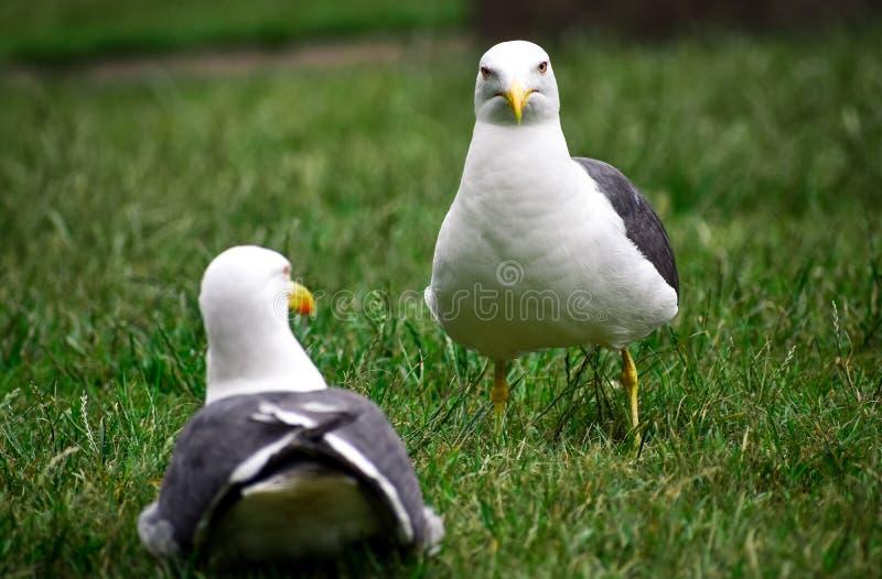 Kilka seagulls odpoczywa na trawie obrazy royalty free