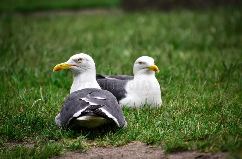 Kilka seagulls odpoczywa na trawie fotografia royalty free
