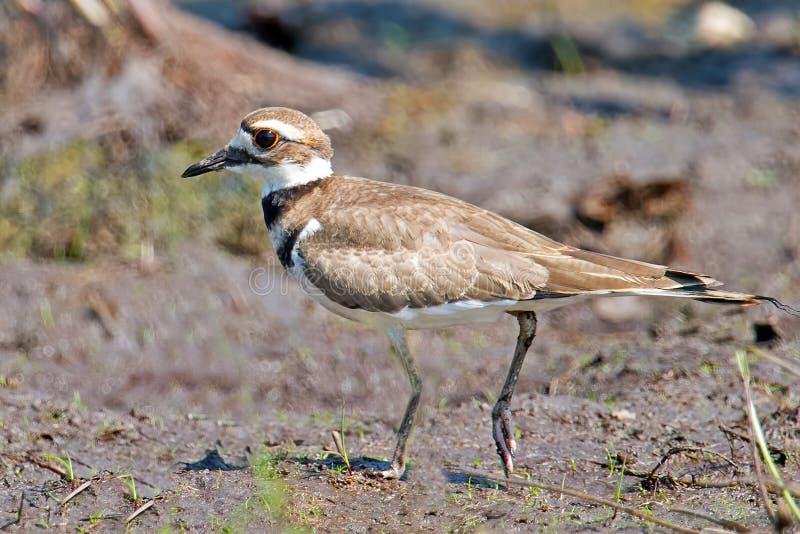 Download Killdeer stock image. Image of vociferus, bird, charadrius - 25755685
