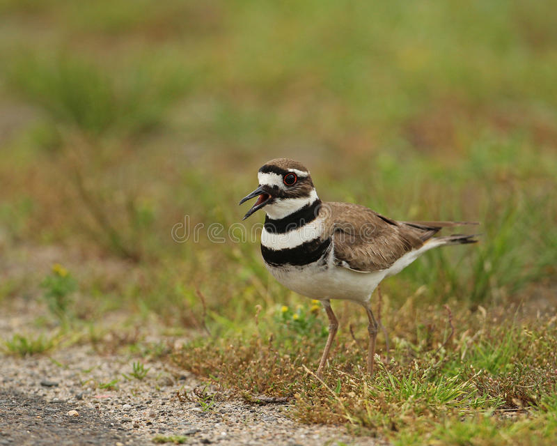 Download Killdeer stock image. Image of sing, green, yell, bands - 27210505