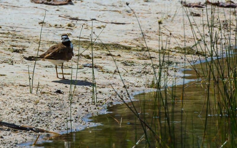 Killdeer auf dem sumpfigen Ufer lizenzfreies stockbild