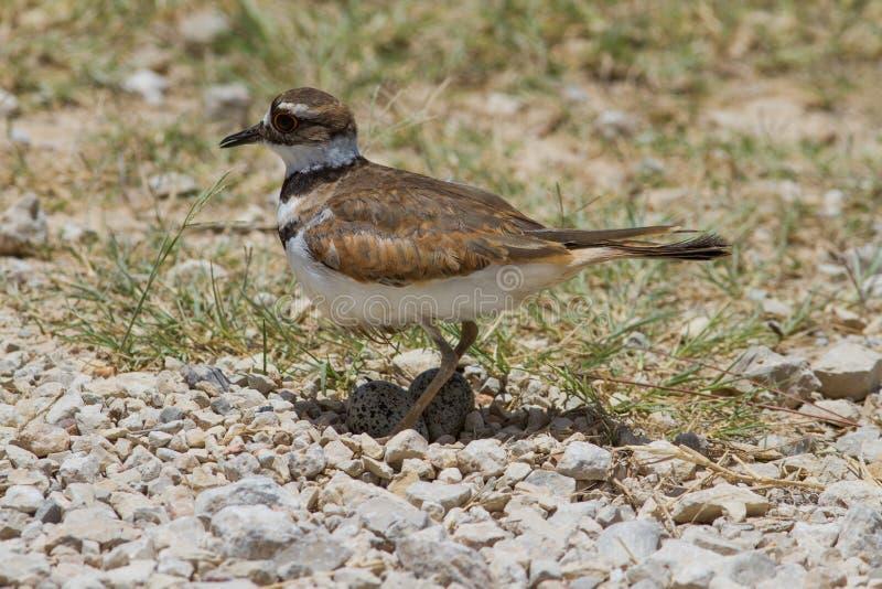 Killdeer auf Nest stockbilder