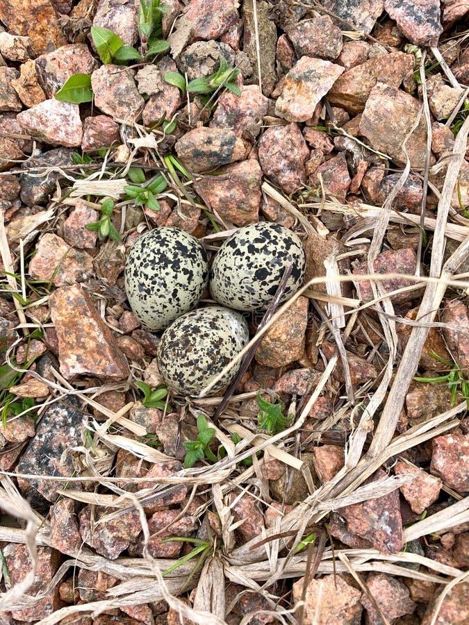 Killdeer or Charadrius vociferus Nest in the wild stock images