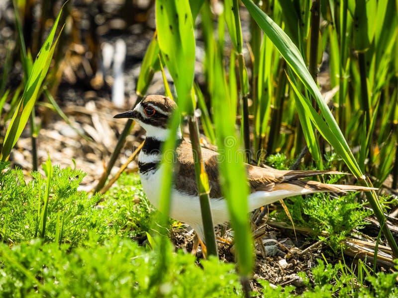 Killdeer, der durch Gras-Blätter späht lizenzfreies stockfoto