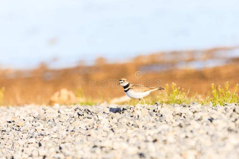 Killdeer looking for a nesting spot along the side of a road within Bald Knob National Wildlife Refuge. Bald Knob NWR - March 2017, A Killdeer looking for a stock image
