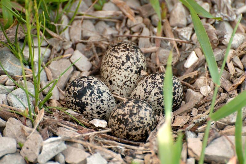 Download Killdeer Nest Royalty Free Stock Images - Image: 21943329
