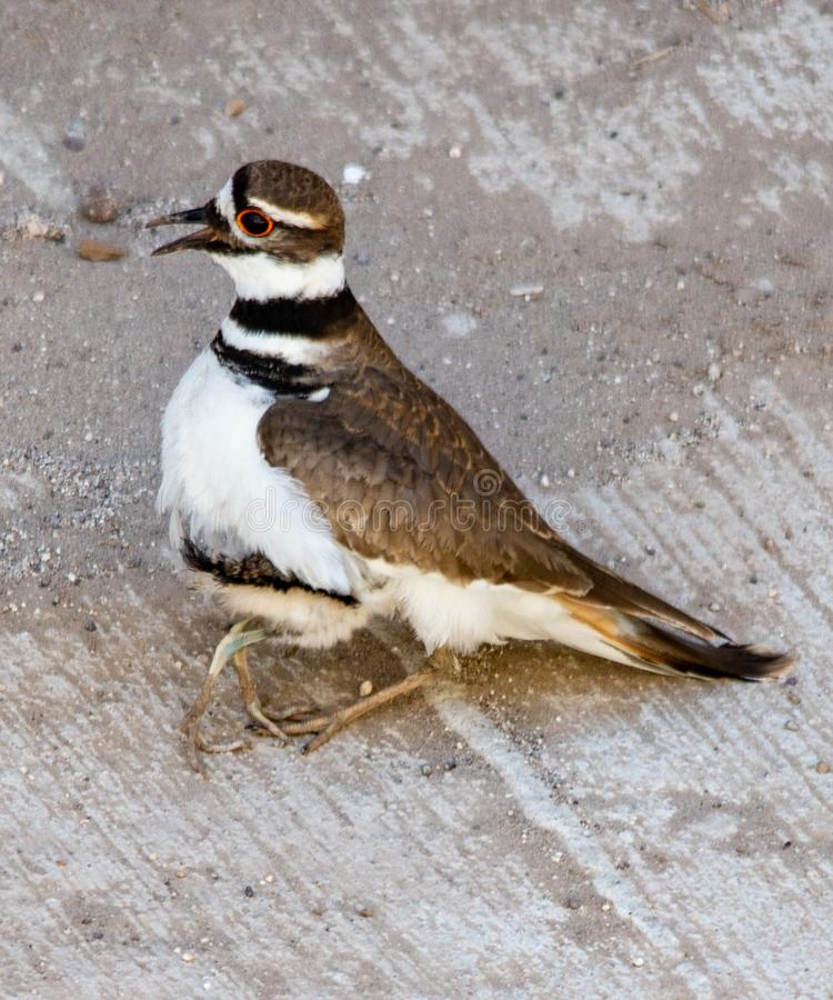 Killdeer plover lost on a concrete driveway ecological trap and habitat loss consequence. Killdeer plover Charadrius vociferous mother and chick lost on a stock image