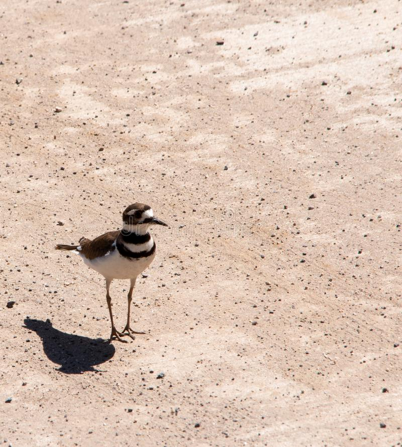 Killdeer plover lost on a concrete driveway ecological trap and habitat loss consequence. Killdeer plover Charadrius vociferous mother and chick lost on a royalty free stock images