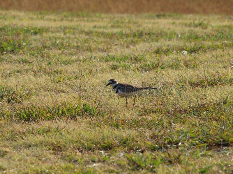 Killdeer Shorebird Na polowaniu obraz royalty free