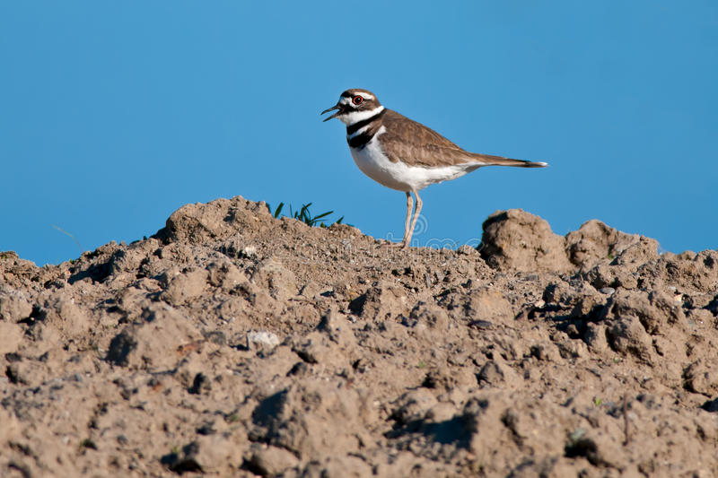 Killdeer. Standing at the top of a muddy hill stock images
