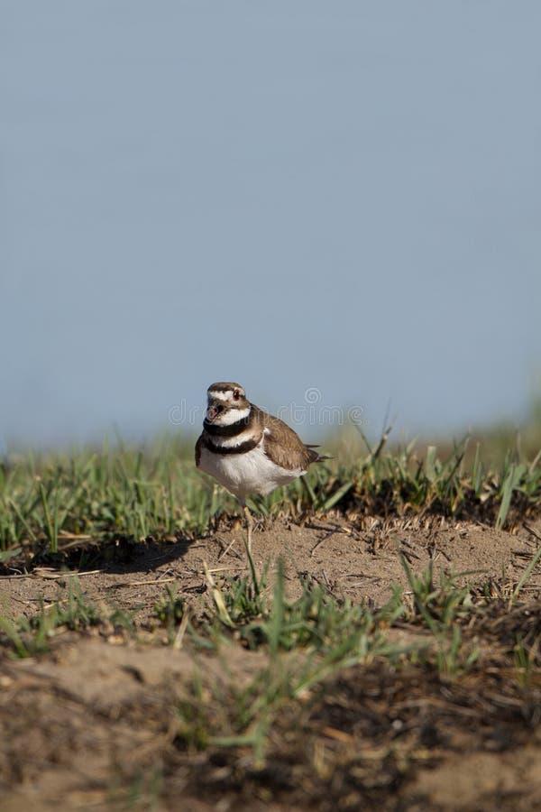 Download Killdeer, Vociferus Del Charadrius Fotografia Stock - Immagine di wetland, gridi: 30826840