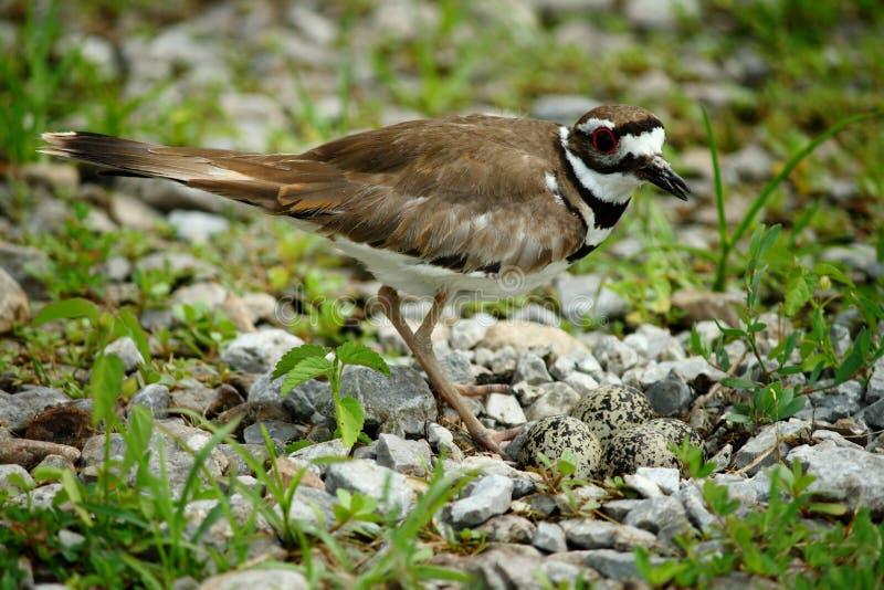 Killdeer-Vogel mit Eiern lizenzfreie stockfotografie