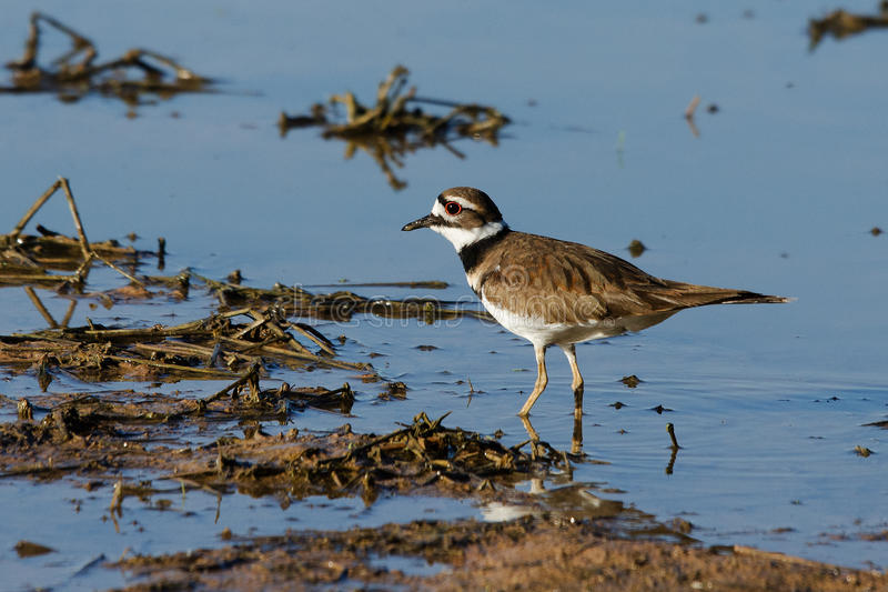 Killdeer wading. A Killdeer wading in a pond looking for food royalty free stock images