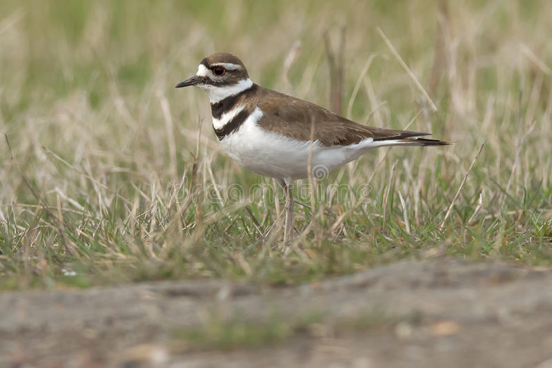 Killdeer. Walking in the grass royalty free stock images