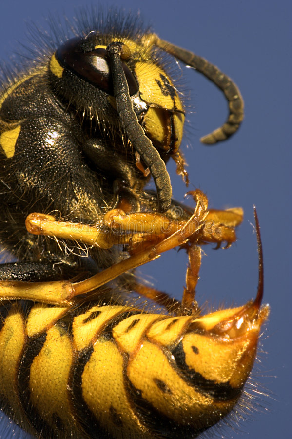Black Bumble Bee >> Killer Bee Royalty Free Stock Photography - Image: 5099297