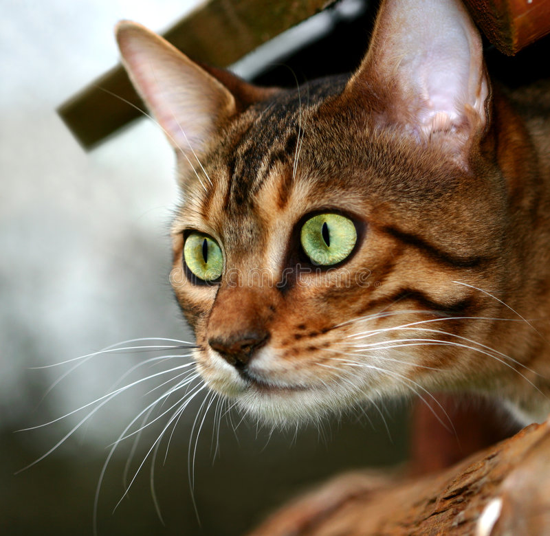Killer Cat. A Bengali special breed kitten poking its head out of a bird box in killer mode stock images