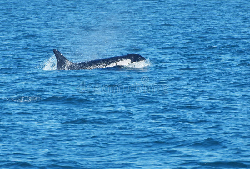 Download Killer whale stock photo. Image of swim, jump, black - 15121672