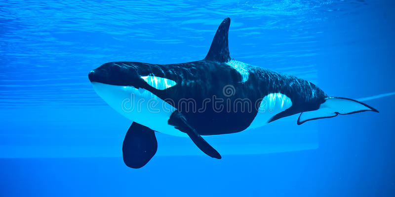 Killer Whale. Friendly killer whale in an underwater viewing tank