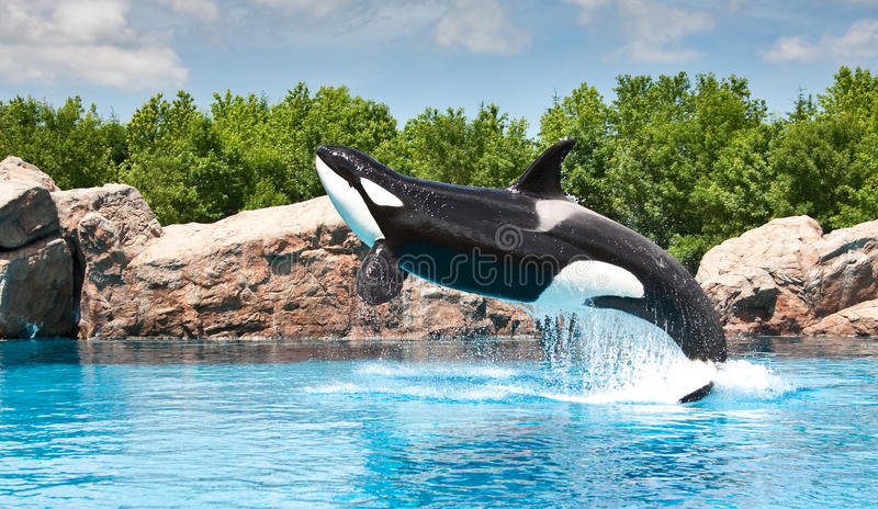 Killer Whale. Friendly killer whale jumping out of the water and putting on a show stock image