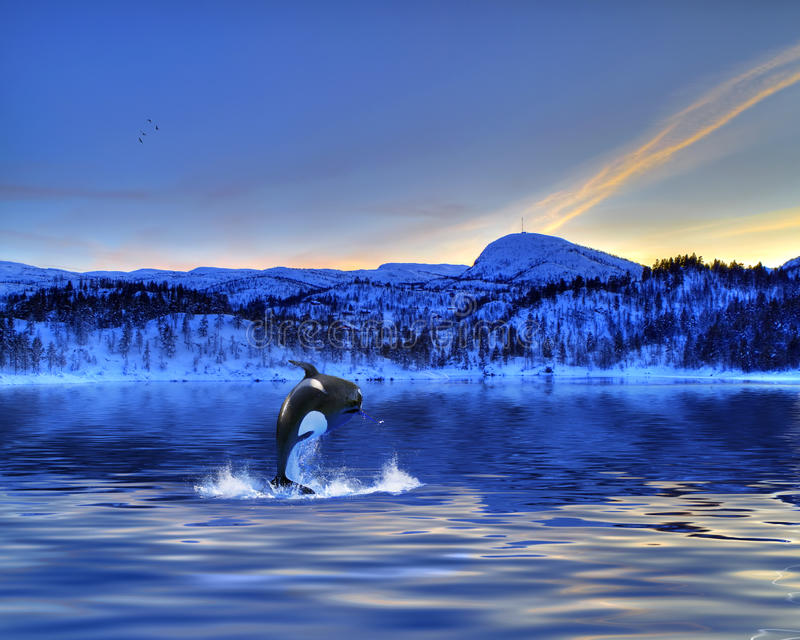 Killer Whale. Jumping out of the water stock image