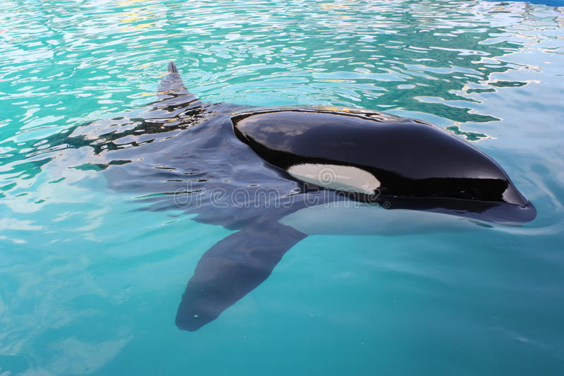 Killer Whale. In a pool stock photos