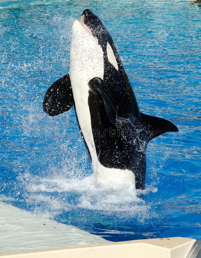 Killer Whale. A killer whale jumping out of the water to touch the tip of a pole stock images
