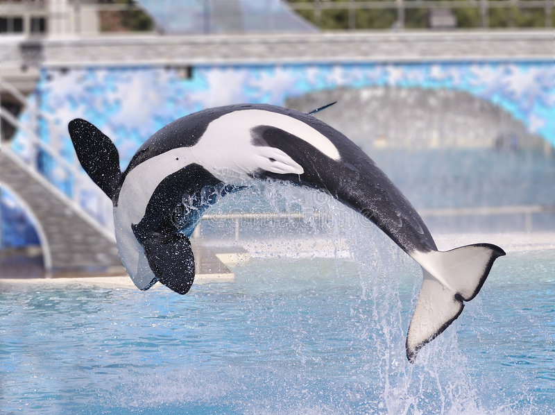 Download Killer Whale stock image. Image of water, tail, curved - 8280761