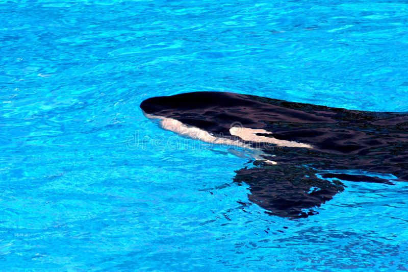 Killer Whale. Orca Killer Whale On The Water Surface royalty free stock photos