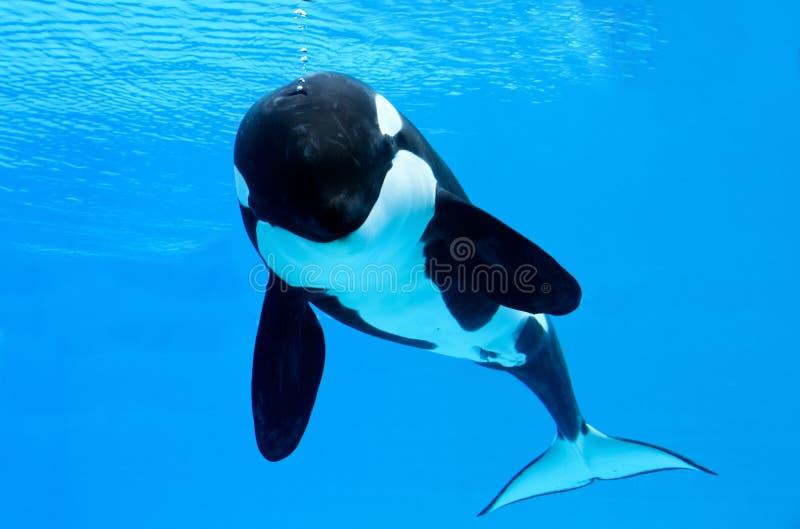 Killer Whale Bubbles. A Killer whale blowing bubbles royalty free stock images