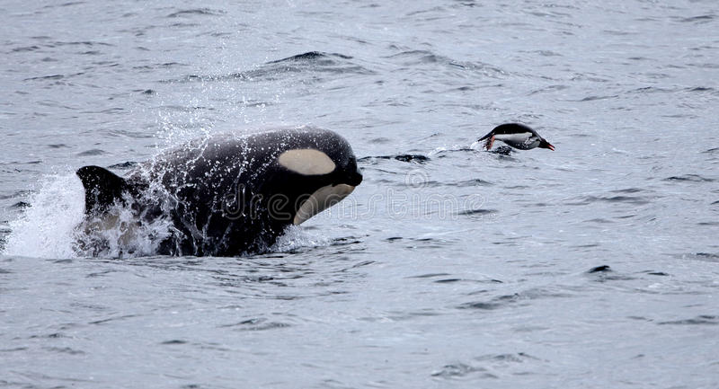 Killer Whale Chasing Gentoo Penguin. In Antarctic Waters royalty free stock photography